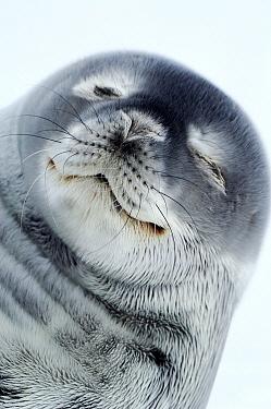 Weddell Seal (Leptonychotes weddellii) portrait, Atka Bay, Antarctica  -  Jan Vermeer