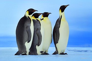 Emperor Penguin (Aptenodytes forsteri) group standing in a row, Antarctica  -  Jan Vermeer