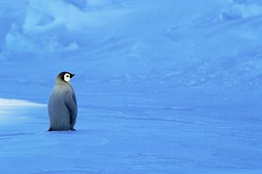Emperor Penguin (Aptenodytes forsteri) chick, Riiser-Larsen Ice Shelf, Antarctica  -  Jan Vermeer