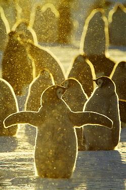Emperor Penguin (Aptenodytes forsteri) chicks, Riiser-Larsen Ice Shelf, Antarctica  -  Jan Vermeer