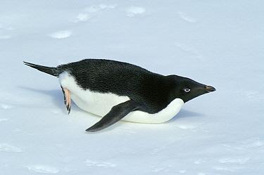 Adelie Penguin (Pygoscelis adeliae) tobogganing, Drescher Inlet, Antarctica  -  Jan Vermeer