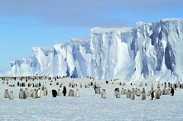 Emperor Penguin (Aptenodytes forsteri) colony, Drescher Inlet, Antarctica  -  Jan Vermeer
