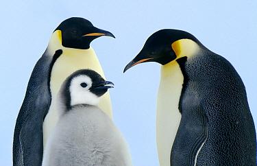 Emperor Penguin (Aptenodytes forsteri) family, Weddell Sea, Antarctica  -  Jan Vermeer