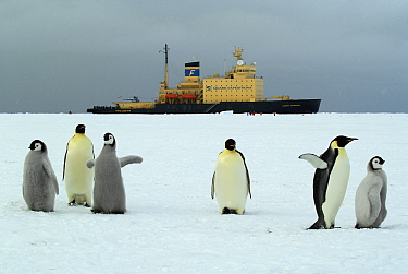 Emperor Penguin (Aptenodytes forsteri) group with the Russian icebreaker Kapitan Khlebnikov in the background, Antarctica  -  Jan Vermeer