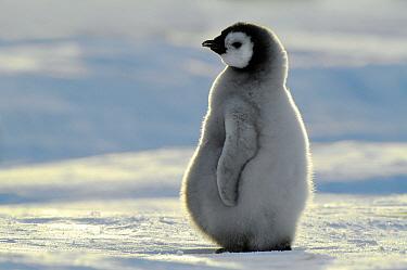 Emperor Penguin (Aptenodytes forsteri) chick, Atka Bay, Antarctica  -  Jan Vermeer
