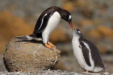 Gentoo Penguin (Pygoscelis papua) mother feeding chick, Antarctica  -  Jan Vermeer