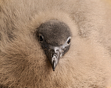 Pintado Petrel (Daption capense) chick, Cuverville Island, Antarctica  -  Jan Vermeer