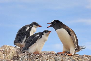 Gentoo Penguin (Pygoscelis papua) mother with two chicks, Antarctica  -  Jan Vermeer