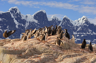 Gentoo Penguin (Pygoscelis papua) and Antarctic Skua (Catharacta antarctica) group on mountain ridge, Port Lockroy, Antarctica  -  Jan Vermeer