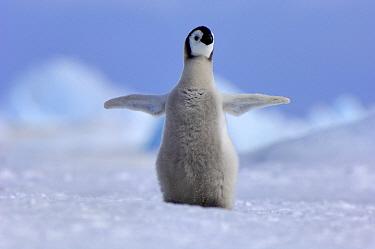 Emperor Penguin (Aptenodytes forsteri) chick with wings spread, Snow Hill Island, Antarctica  -  Jan Vermeer