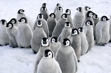 Emperor Penguin (Aptenodytes forsteri) chicks, Snow Hill Island, Antarctica  -  Jan Vermeer
