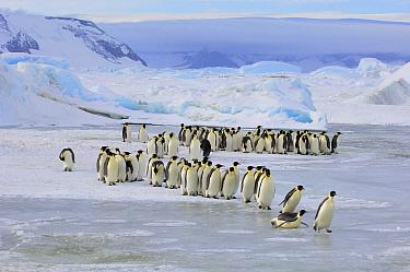Emperor Penguin (Aptenodytes forsteri) group walking across ice, Snow Hill Island, Antarctica  -  Jan Vermeer