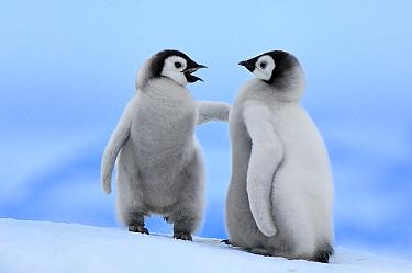 Emperor Penguin (Aptenodytes forsteri) chick pair, Snow Hill Island, Antarctica  -  Jan Vermeer