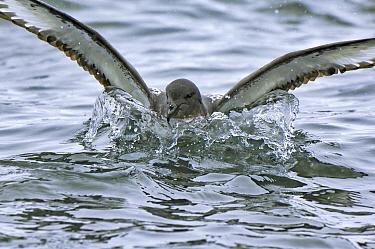Pintado Petrel (Daption capense) landing on the water, Brown Bluff, Antarctica  -  Jan Vermeer
