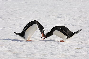 Gentoo Penguin (Pygoscelis papua) pair arguing in the snow, Antarctica  -  Jan Vermeer