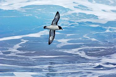 Pintado Petrel (Daption capense) flying, Drake Passage, Antarctica  -  Jan Vermeer