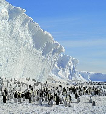 Emperor Penguin (Aptenodytes forsteri) colony, Antarctica  -  Jan Vermeer