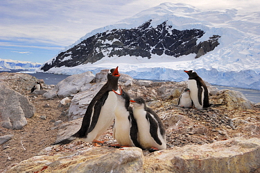 Gentoo Penguin (Pygoscelis papua) mother with two begging chicks, Neko Harbor, Antarctica  -  Jan Vermeer