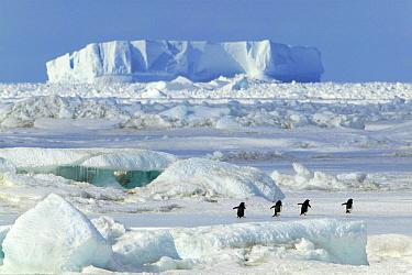 Adelie Penguin (Pygoscelis adeliae) group walking, Cape Hallett, Antarctica  -  Jan Vermeer