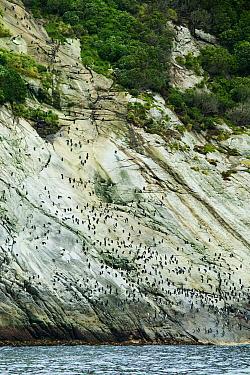 Snares Crested Penguin (Eudyptes robustus) colony, Snares Island, Antarctica  -  Jan Vermeer