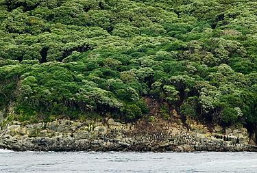 Snares Crested Penguin (Eudyptes robustus) colony along coastline, Snares Island, Antarctica  -  Jan Vermeer