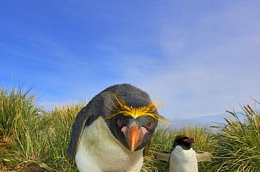 Macaroni Penguin (Eudyptes chrysolophus) pair in tussock grass, Cooper Bay, South Georgia, Antarctica  -  Jan Vermeer