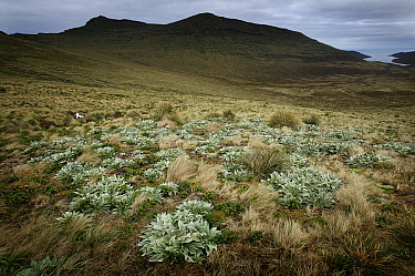 Southern Royal Albatross (Diomedea epomophora) nesting in tussock grass landscape, Campbell Island, Antarctica  -  Jan Vermeer