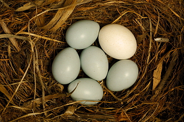 Common Cuckoo (Cuculus canorus) and Dunnock (Prunella modularis) eggs in nest, Netherlands