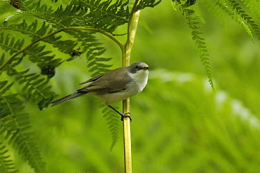 Lesser Whitethroat (Sylvia curruca) on Bracken Fern (Pteridium aquilinum), Eesveen, Netherlands  -  Jan van Arkel/ NiS