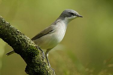 Lesser Whitethroat (Sylvia curruca) on branch, Eesveen, Netherlands  -  Jan van Arkel/ NiS