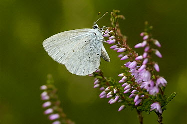 Holly Blue (Celastrina argiolus) butterfly on heather, Eesveen, Netherlands  -  Jan van Arkel/ NiS