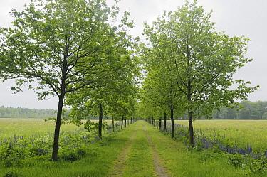Narrow-leaved Blue Lupin (Lupinus angustifolius) and trees lining a road, Eesveen, Netherlands  -  Jan van Arkel/ NiS