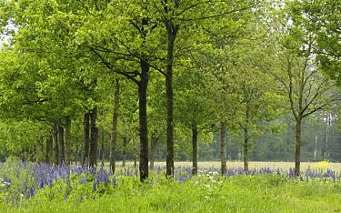 Narrow-leaved Blue Lupin (Lupinus angustifolius) and trees, Eesveen, Netherlands  -  Jan van Arkel/ NiS