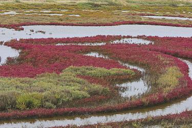 Common Glasswort (Salicornia europaea) in a marsh during fall, Greece  -  Martin Woike/ NiS