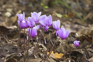 Sowbread (Cyclamen hederifolium) flowers, Meteora, Greece  -  Martin Woike/ NiS