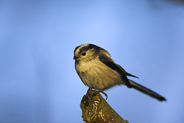 Long-tailed Tit (Aegithalos caudatus) perching, Duesseldorf, Germany  -  Martin Woike/ NiS