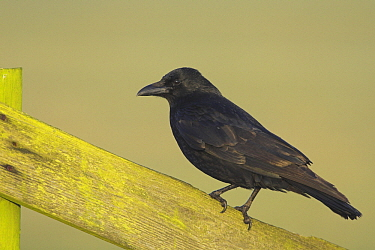 Carrion Crow (Corvus corone) perched on fence, Workum, Netherlands  -  Martin Woike/ NiS