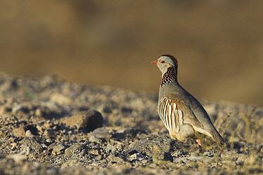 Barbary Partridge (Alectoris barbara) on rocky ground, Fuerteventura, Spain  -  Martin Woike/ NiS