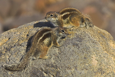 Barbary Ground Squirrel (Atlantoxerus getulus) pair sunning on rock, Fuerteventura, Spain  -  Martin Woike/ NiS