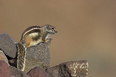 Barbary Ground Squirrel (Atlantoxerus getulus) sunning on rock, Fuerteventura, Spain  -  Martin Woike/ NiS