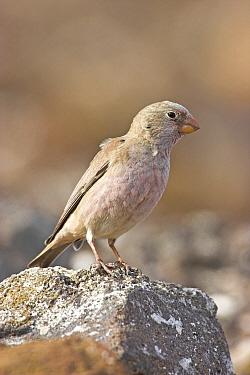 Trumpeter Finch (Bucanetes githaginea) male, Fuerteventura, Spain  -  Martin Woike/ NiS