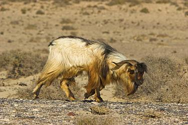 Wild Goat (Capra aegagrus) walking through semi-desert, Fuerteventura, Spain  -  Martin Woike/ NiS