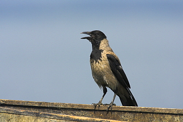 Hooded Crow (Corvus cornix) calling, Lake Kerkini, Greece  -  Martin Woike/ NiS