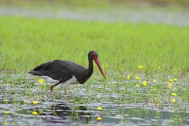 Black Stork (Ciconia nigra) foraging, Lake Kerkini, Greece  -  Martin Woike/ NiS