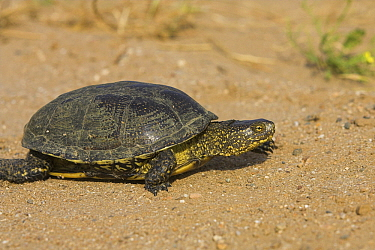 European Pond Turtle (Emys orbicularis) walking, Greece  -  Martin Woike/ NiS