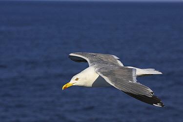 Caspian Gull (Larus cachinnans) flying, Thassos Island, Greece  -  Martin Woike/ NiS