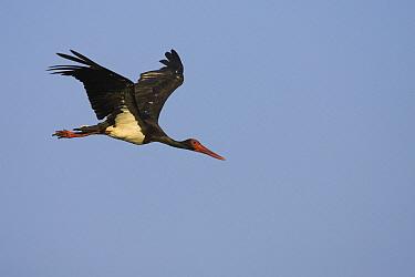 Black Stork (Ciconia nigra) flying, Evros, Greece  -  Martin Woike/ NiS