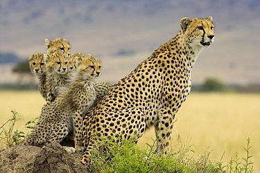 Cheetah (Acinonyx jubatus) mother with five cubs on a termite mound, Masai Mara National Reserve, Kenya  -  Winfried Wisniewski