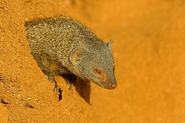Dwarf Mongoose (Helogale parvula) crawling out from hole, Kenya  -  Winfried Wisniewski