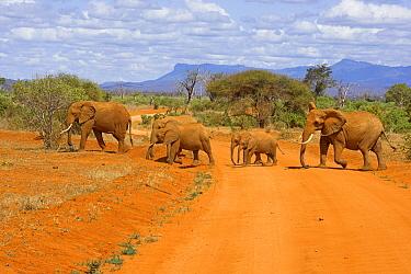 African Elephant (Loxodonta africana) group crossing the road, Tsavo East National Park, Kenya  -  Winfried Wisniewski